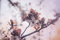 Cherry tree blooming in springtime Royalty Free Stock Photos