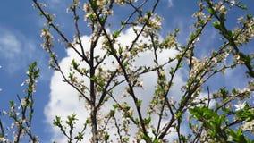 Cherry Tree Blooming In The vår arkivfilmer