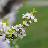 Cherry tree blooming Stock Images