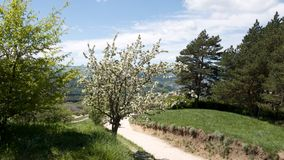 A cherry tree blooming with white flowers on a country road. Travel to Russia - Stavropol Krai, Kislovodsk.  stock images
