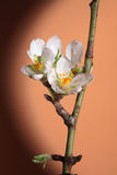 Cherry Tree blooms. The blossoms of a cherry tree stock images