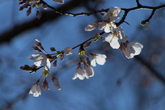 Cherry Tree Blooms Royalty-vrije Stock Afbeelding