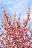 Cherry Tree Blooms Royalty Free Stock Image