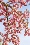 Cherry Tree Blooms Royalty Free Stock Images