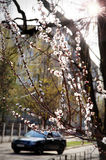 A cherry tree blooms near the road. The car goes on the road stock photo