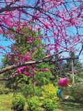 Cherry tree blooms with pink flowers in the spring botanical garden and bird feeders from recycled cans. Japanese cherry tree blooms with pink flowers in the royalty free stock images