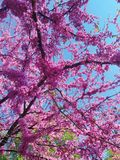 Cherry tree blooms with pink flowers in the spring botanical garden and bird feeders from recycled cans. Japanese cherry tree blooms with pink flowers in the stock photos