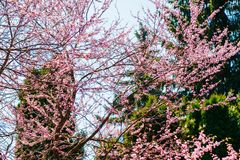 Cherry tree blooms in pink flowers in spring. Outdoors stock photo