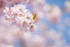 Cherry Tree Blossom Fotografia Stock Libera da Diritti