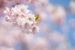 Cherry Tree Blossom Foto de Stock Royalty Free
