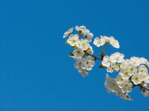 Cherry tree blossom Royalty Free Stock Photos
