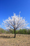 Young Cherry Tree in Blossom Stock Photo