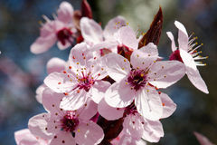 Cherry tree blossom. In spring, close up flowers Stock Images