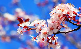 Cherry tree blossom stock photos