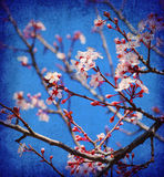 Cherry tree blossom Stock Image