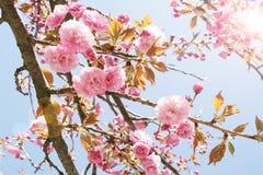 Cherry tree blossom Stock Image