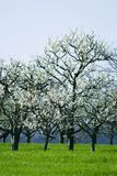 Cherry tree in blossom. White flowers on a blooming cherry tree stock image