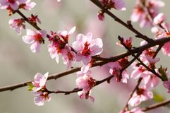 Cherry tree blossom. In spring Stock Photo