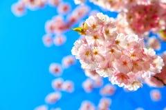 Cherry Tree Blossom photo libre de droits
