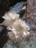 Cherry Tree Blossom Imagen de archivo