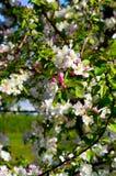 Cherry Tree Blossom Fotografía de archivo