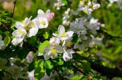 Cherry Tree Blossom Imagenes de archivo