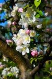 Cherry Tree Blossom Imágenes de archivo libres de regalías
