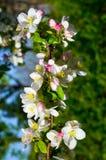 Cherry Tree Blossom Foto de archivo