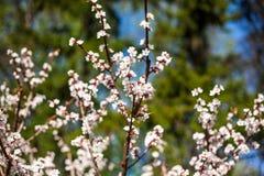 Cherry Tree Blossom Image libre de droits