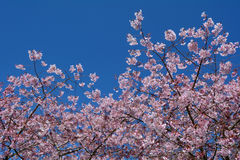 Cherry Tree Blossom Immagini Stock