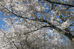 Cherry Tree Blossom. Against Blue Sky Stock Photography