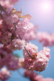 Cherry Tree Blossom Photo stock