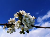 Cherry tree in blossom. Cherry tree in april blossom Stock Image