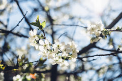 Cherry tree in blossom against clear blue sky. Sunlit cherry tree in blossom against clear blue sky Royalty Free Stock Photography