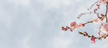 Blossom banner royalty free stock photo