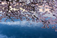 Cherry tree in blossom around Tidal Basin, Washington DC Stock Photos