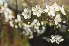 Cherry tree spring blossom, branch with flowers closeup. Cherry tree blossom background, closeup of beautiful branch with small white flower buds. Spring nature Royalty Free Stock Photo