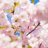 Cherry tree blossom and a bee stock photos
