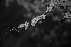 Cherry tree blossoms. A close up of a branch of a cherry tree in blossom, captured in black and white royalty free stock image