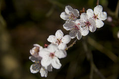 Cherry tree blossom. Ing in spring Royalty Free Stock Photos