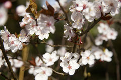 Cherry tree blossom. Ing in spring Royalty Free Stock Image