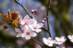 Cherry tree blossom. Ing in spring Stock Photo