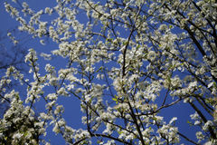 Cherry tree blossom. Ing in spring Stock Photography