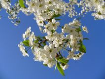 Cherry Tree, Blossom, Blossoms, Sky Royalty Free Stock Photo