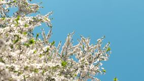Cherry tree blossom and blue sky at sunset, floral nature background. Flowers, dream garden and natural scenery concept - Cherry tree blossom and blue sky at stock video