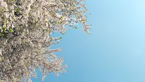 Cherry tree blossom and blue sky at sunset, floral nature background. Flowers, dream garden and natural scenery concept - Cherry tree blossom and blue sky at stock video footage