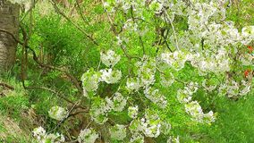 Cherry tree blossom branches swinging on the wind with green background.  stock video footage