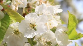 Cherry tree blossom close-up. Moving in light wind stock video footage