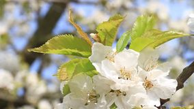 Cherry tree blossom close-up. Moving in light wind stock video