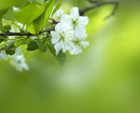 Cherry tree blossom close-up Stock Images